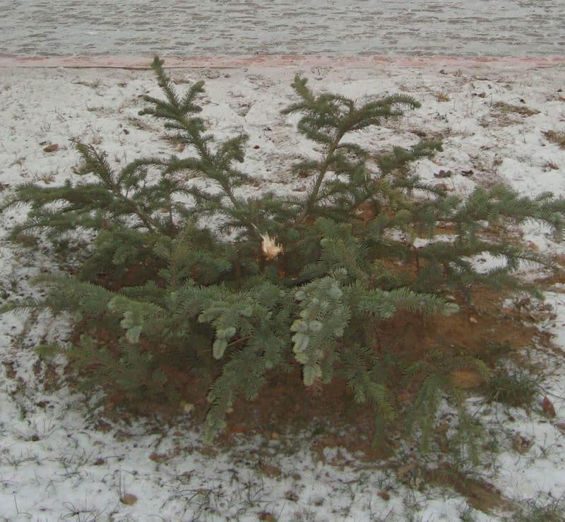 В Торжке объявлено вознаграждение за поимку вандалов, укравших голубую ель