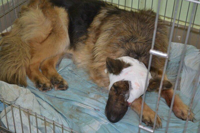 Герда была прооперирована, состояние собаки стабильно