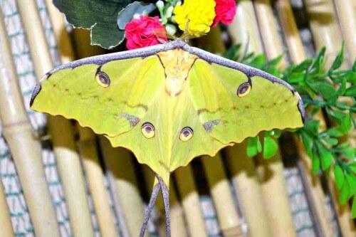 """фото В Тверском Доме бабочек на свет появилась красивая """"комета"""" из семейства павлиноглазок"""