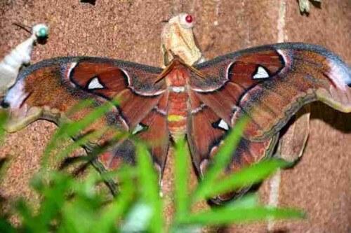 фото Тверичей приглашают посмотреть на самую крупную бабочку в мире - Attacus Atlas