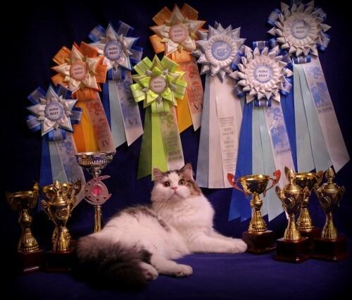 фото Тверичей в День города приглашают на международную выставку кошек