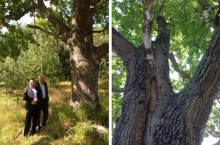 Весьегонский дуб предлагают включить в Национальный реестр старовозрастных деревьев