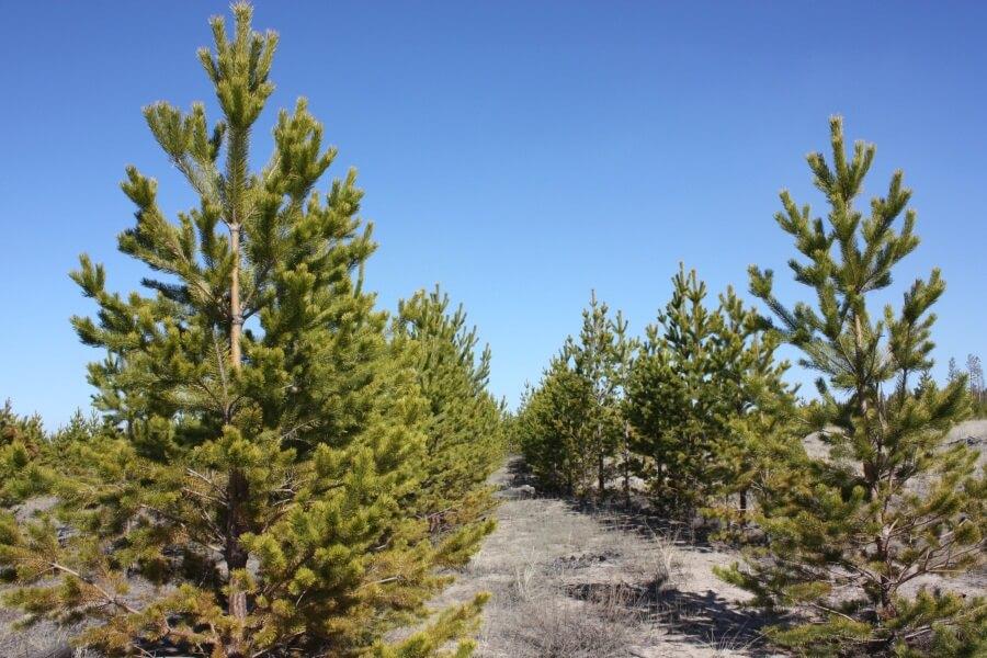 Тверская область в 2015 году перевыполнила план по лесовосстановительным мероприятиям