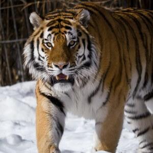 фото Тверские школьники и студенты напишут письма про амурских тигров