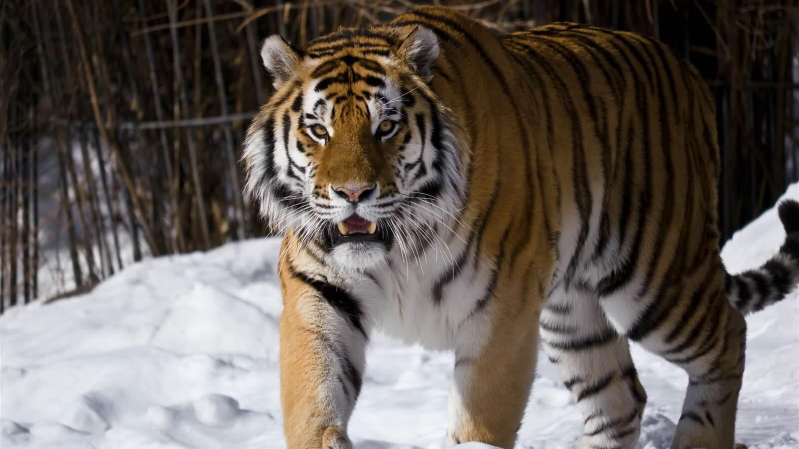 Тверские школьники и студенты напишут письма про амурских тигров