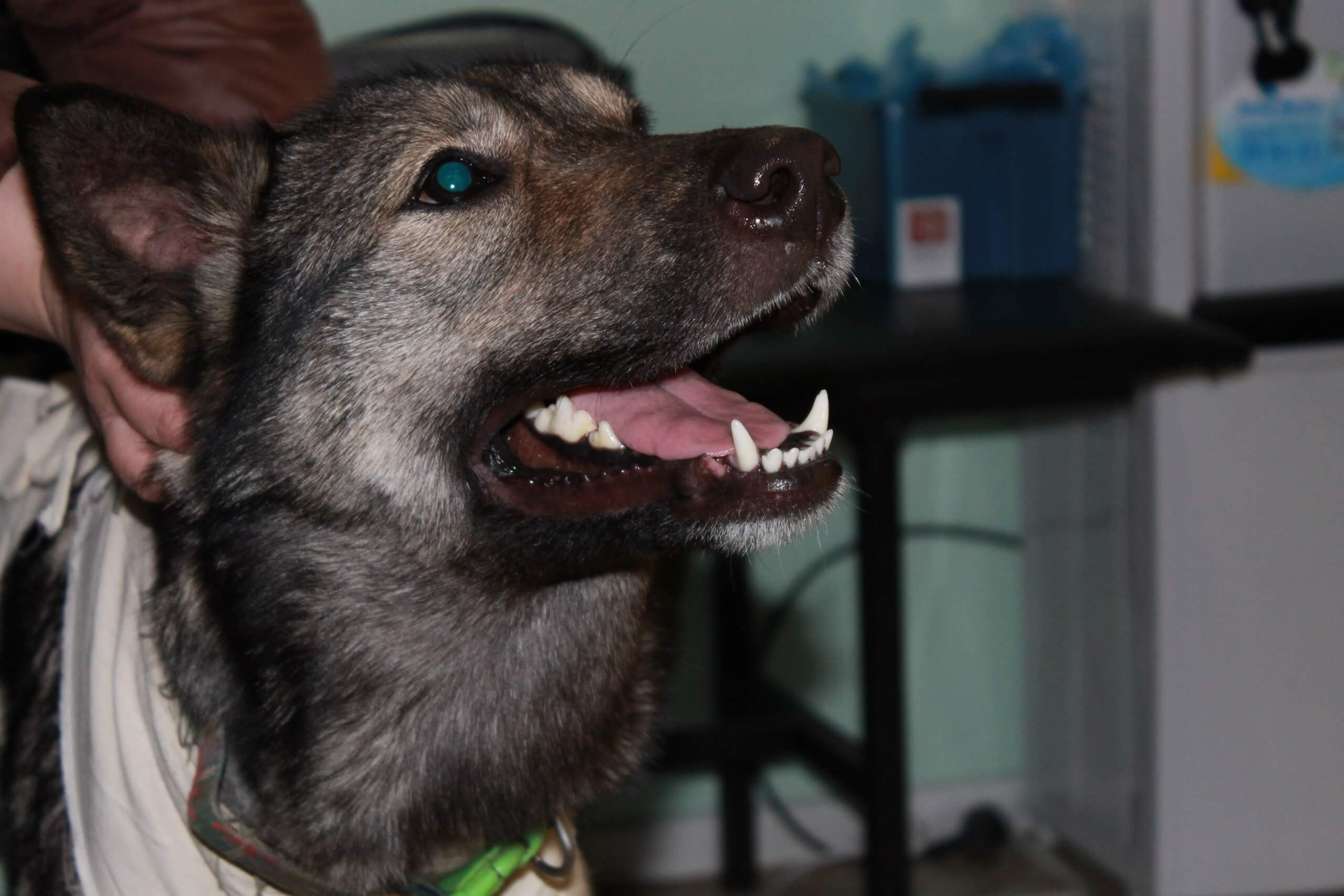 Собака, которая улыбается, несмотря ни на что