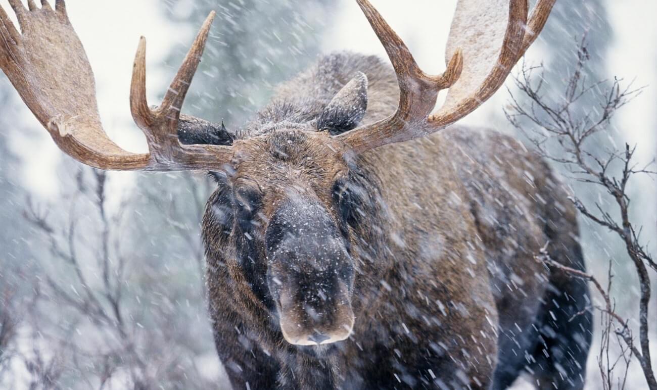 В Зубцовском районе сбили лося