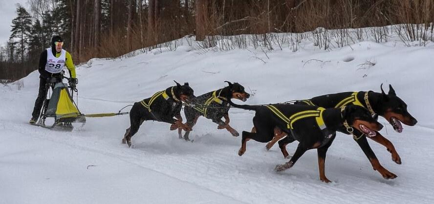 В Тверской области прошли Чемпионат и Первенство России по снежным дисциплинам ездового спорта