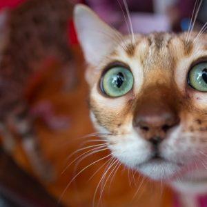 фото В Твери пройдет выставка кошек