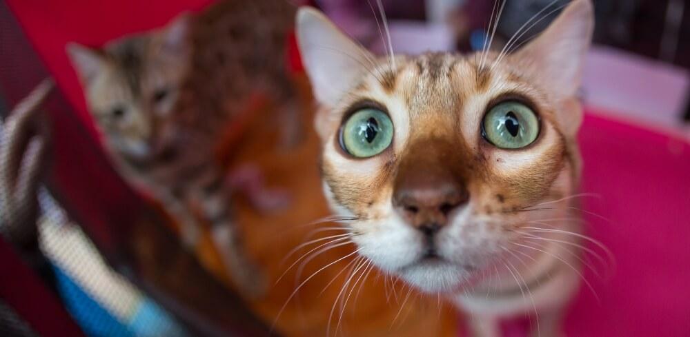 В Твери пройдет выставка кошек